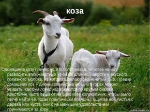 коза Одомашнив козу примерно 9 000 лет назад, человек начал разводить этих жи