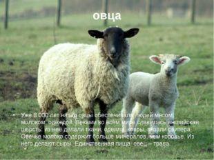 овца Уже 8 000 лет назад овцы обеспечивали людей мясом, молоком, одеждой. Век