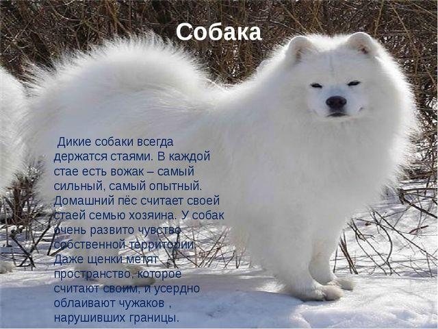 Собака Дикие собаки всегда держатся стаями. В каждой стае есть вожак – самый...