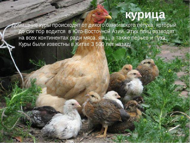 курица Домашние куры происходят от дикого банкивского петуха, который до сих...