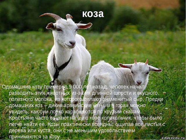 коза Одомашнив козу примерно 9 000 лет назад, человек начал разводить этих жи...