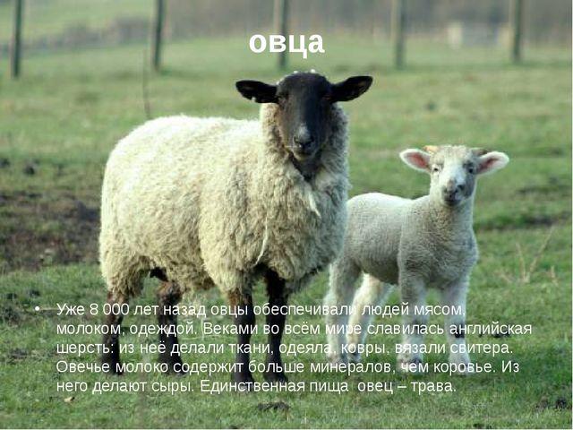 овца Уже 8 000 лет назад овцы обеспечивали людей мясом, молоком, одеждой. Век...