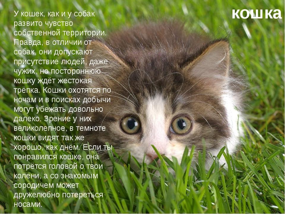 кошка У кошек, как и у собак развито чувство собственной территории. Правда,...