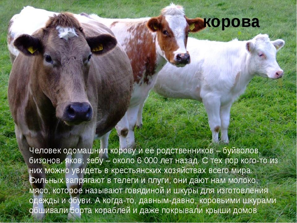 корова Человек одомашнил корову и её родственников – буйволов, бизонов, яков...