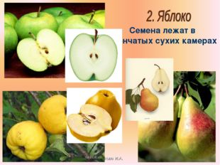 Бочкова И.А. Семена лежат в плёнчатых сухих камерах Бочкова И.А.