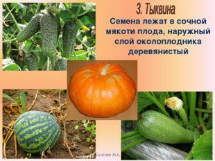 Бочкова И.А. Семена лежат в сочной мякоти плода, наружный слой околоплодника