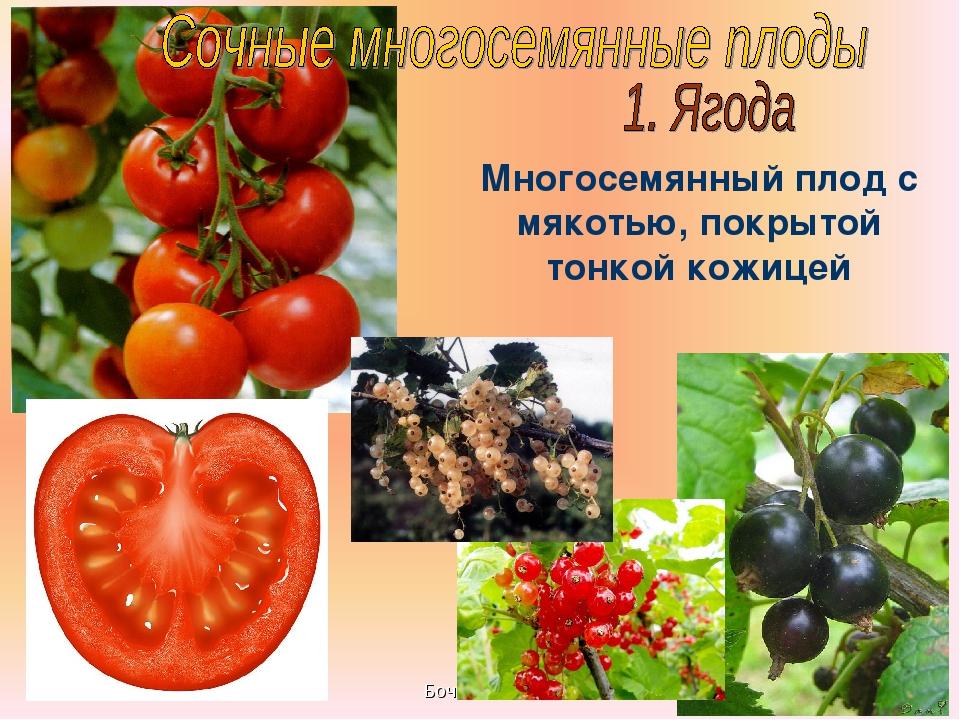 Бочкова И.А. Многосемянный плод с мякотью, покрытой тонкой кожицей Бочкова И.А.