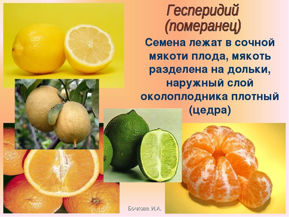 Бочкова И.А. Семена лежат в сочной мякоти плода, мякоть разделена на дольки,...