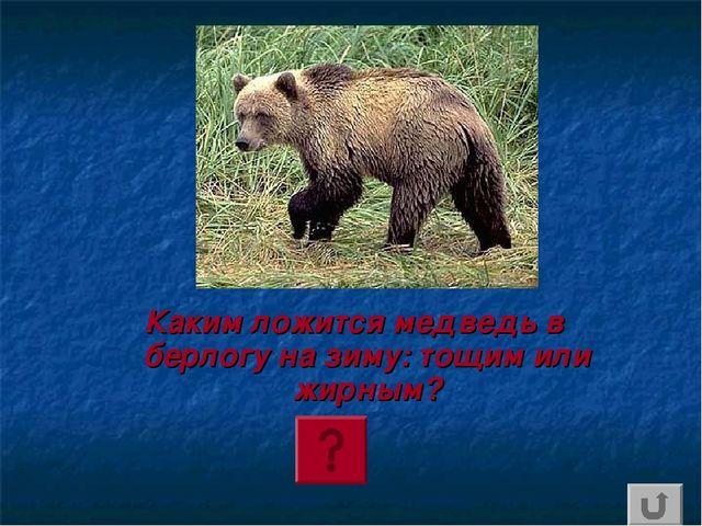 Каким ложится медведь в берлогу на зиму: тощим или жирным?