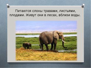 Питаются слоны травами, листьями, плодами. Живут они в лесах, вблизи воды.