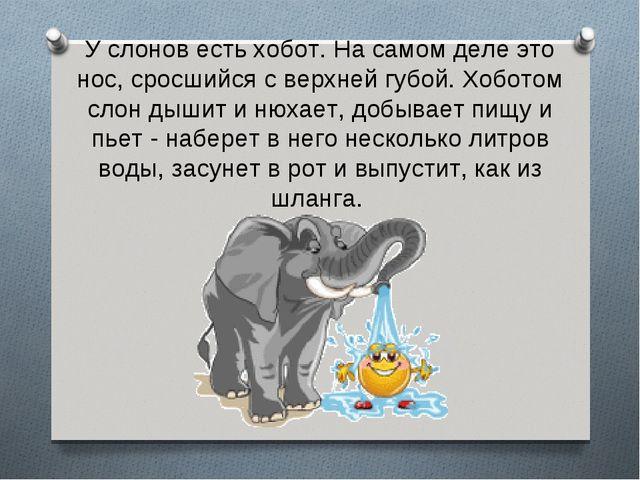 У слонов есть хобот. На самом деле это нос, сросшийся с верхней губой. Хобото...
