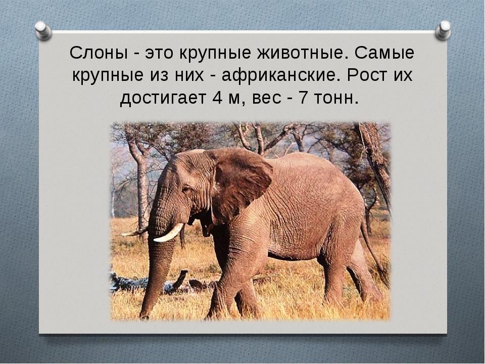 Слоны - это крупные животные. Самые крупные из них - африканские. Рост их дос...