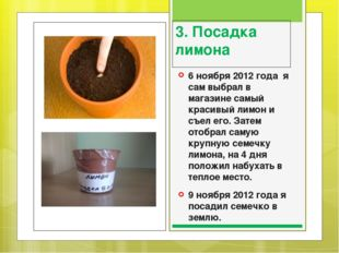 3. Посадка лимона 6 ноября 2012 года я сам выбрал в магазине самый красивый л