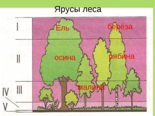 берёза осина рябина Ель малина Ярусы леса