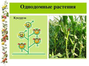 Однодомные растения Кукуруза