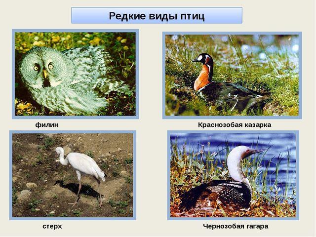 стерх филин Краснозобая казарка Чернозобая гагара Редкие виды птиц