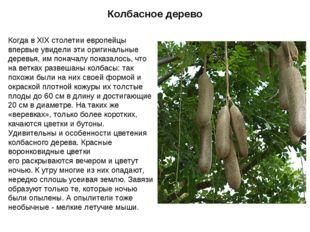 Колбасное дерево Когда в XIX столетии европейцы впервые увидели эти оригиналь
