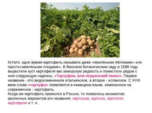 Кстати, одно время картофель называлидаже «земляными яблоками» или просто«зе