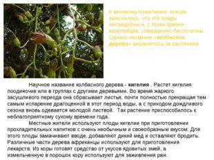 Научное название колбасного дерева -кигелия. Растет кигелия поодиночке ил