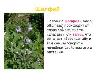 Шалфей Название шалфея (Salvia officinalis) происходит от слова salvare, то е