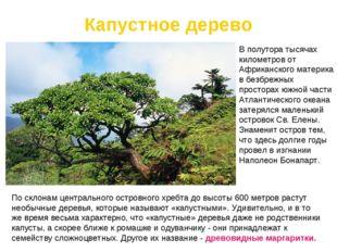 Капустное дерево По склонам центрального островного хребтадо высоты 600 метр