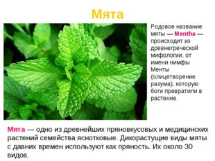 Мята Мята — одно из древнейших пряновкусовых и медицинских растений семейства