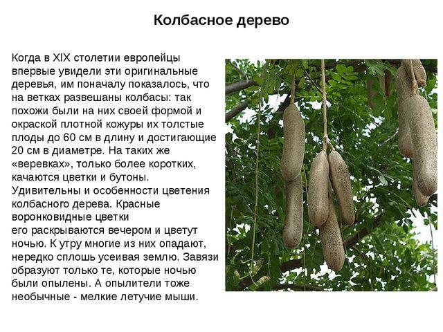 Колбасное дерево Когда в XIX столетии европейцы впервые увидели эти оригиналь...