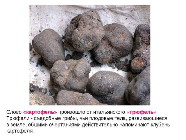 Слово «картофель» произошло от итальянского «трюфель». Трюфели - съедобные гр...