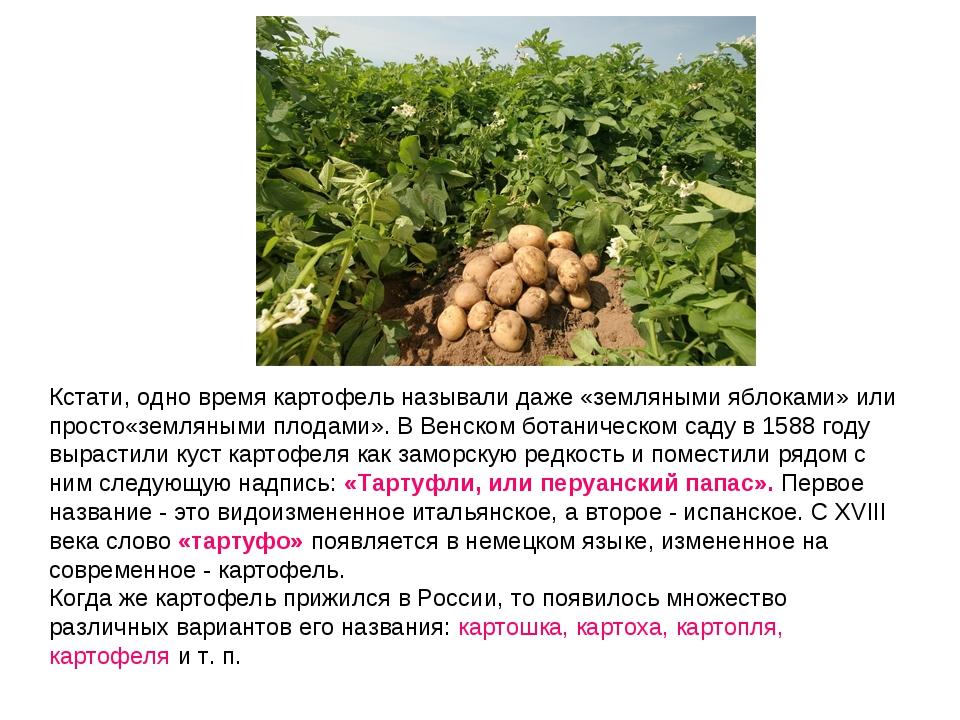 Кстати, одно время картофель называлидаже «земляными яблоками» или просто«зе...