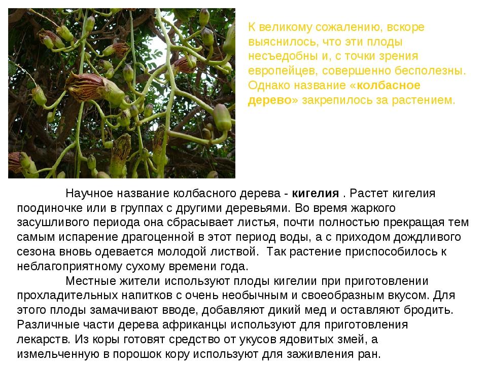 Научное название колбасного дерева -кигелия. Растет кигелия поодиночке ил...