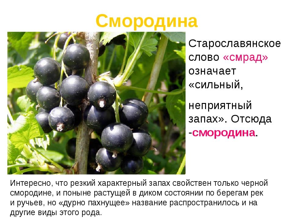 Интересно, что резкий характерныйзапах свойствен только черной смородине,и...
