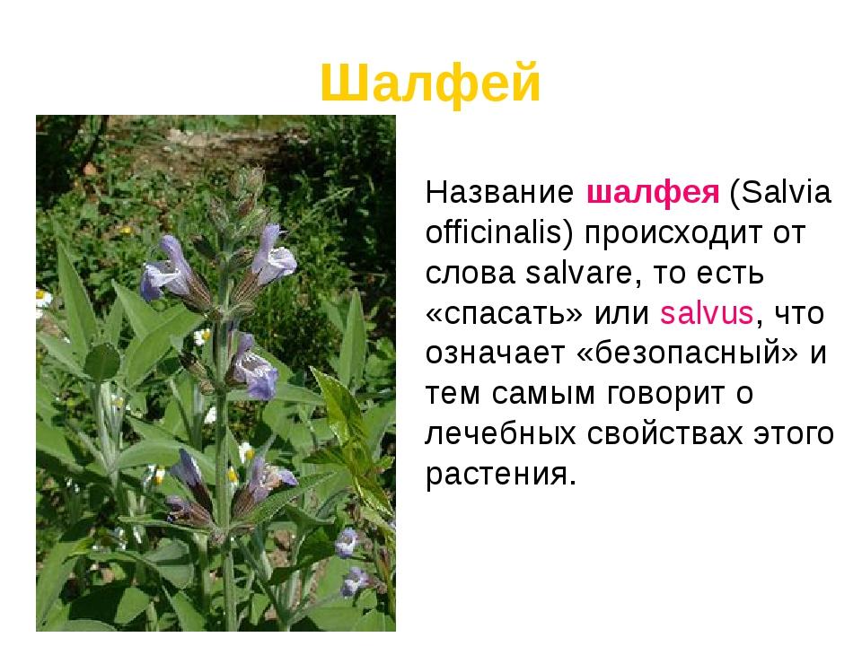 Шалфей Название шалфея (Salvia officinalis) происходит от слова salvare, то е...
