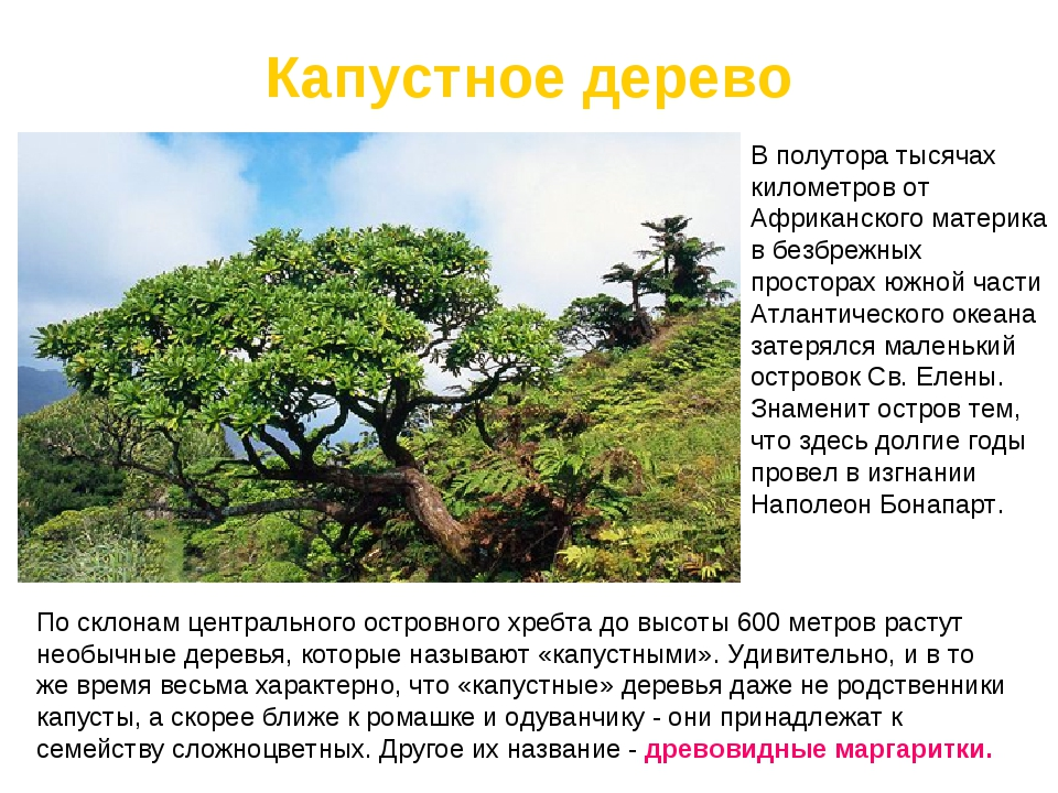 Капустное дерево По склонам центрального островного хребтадо высоты 600 метр...