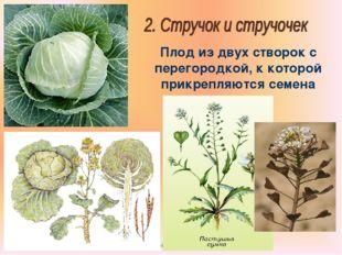 Бочкова И.А. Плод из двух створок с перегородкой, к которой прикрепляются сем
