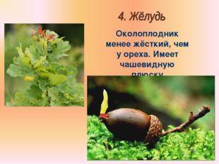Бочкова И.А. Околоплодник менее жёсткий, чем у ореха. Имеет чашевидную плюску