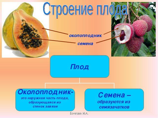 Бочкова И.А. околоплодник семена Бочкова И.А.
