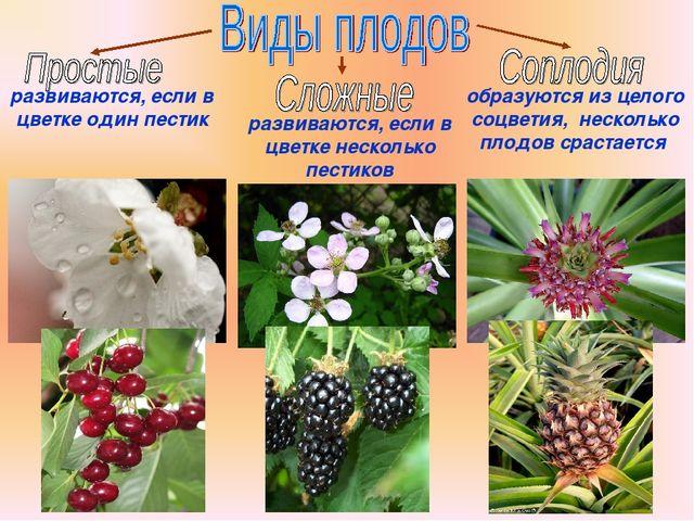 Бочкова И.А. развиваются, если в цветке один пестик развиваются, если в цветк...