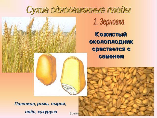 Бочкова И.А. Кожистый околоплодник срастается с семенем Пшеница, рожь, пырей,...
