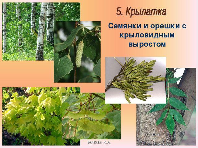 Бочкова И.А. Семянки и орешки с крыловидным выростом Бочкова И.А.
