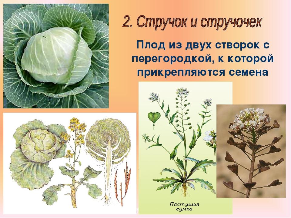 Бочкова И.А. Плод из двух створок с перегородкой, к которой прикрепляются сем...