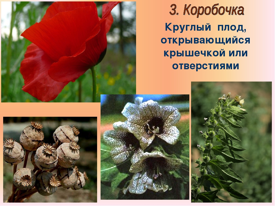 Бочкова И.А. Круглый плод, открывающийся крышечкой или отверстиями Бочкова И.А.
