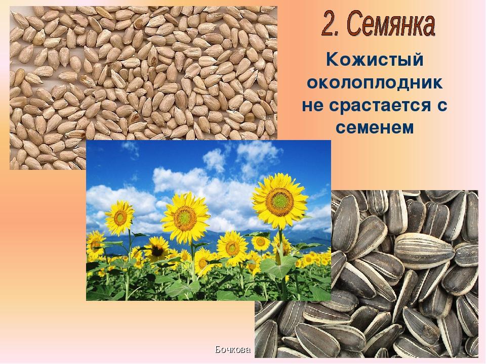 Бочкова И.А. Кожистый околоплодник не срастается с семенем Бочкова И.А.