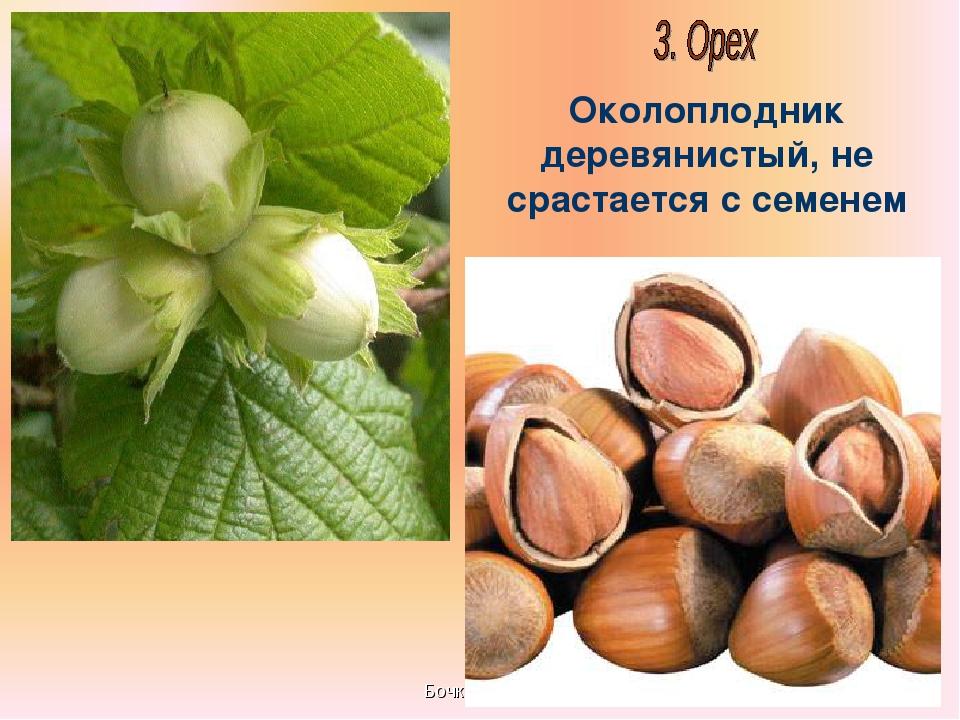 Бочкова И.А. Околоплодник деревянистый, не срастается с семенем Бочкова И.А.