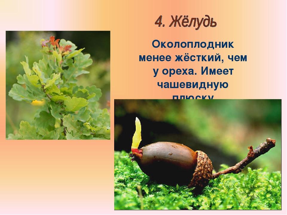 Бочкова И.А. Околоплодник менее жёсткий, чем у ореха. Имеет чашевидную плюску...