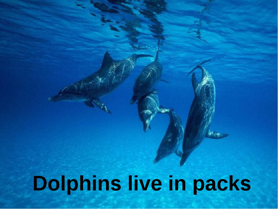 Dolphins live in packs