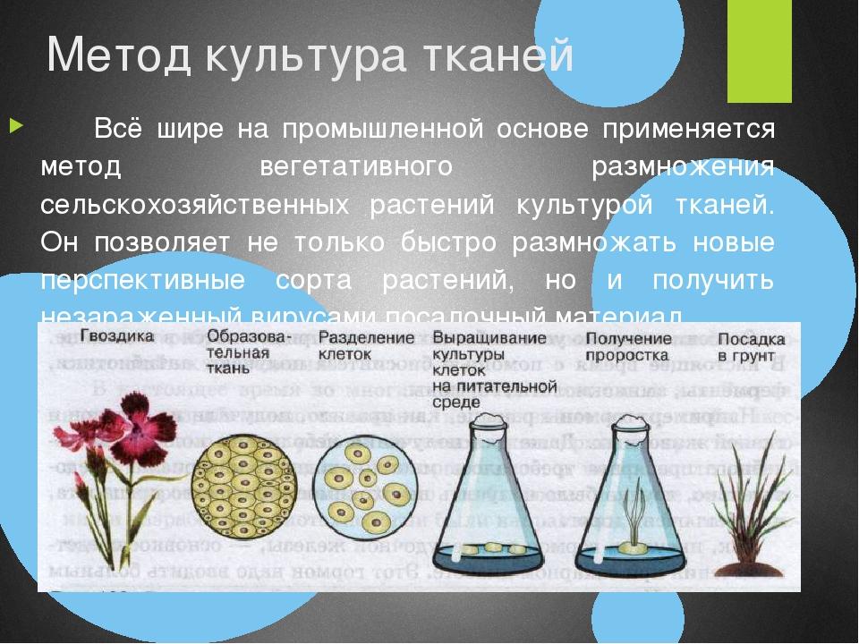Метод культура тканей Всё шире на промышленной основе применяется метод веге...