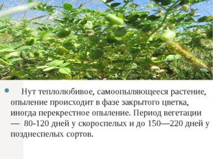 Нут теплолюбивое, самоопыляющееся растение, опыление происходит в фазе закры
