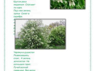 Ученик читает стихотворение « Черёмуха» Черемуха душистая С весною расцвела