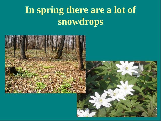 In spring there are a lot of snowdrops