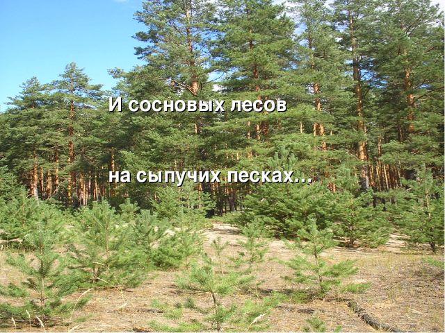 И сосновых лесов на сыпучих песках…